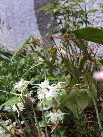 トキワイカリソウ咲く