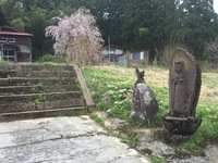 糸魚川 徳合 枝垂れ桜