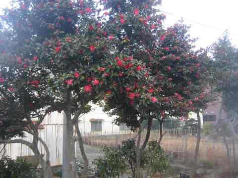 冬の真っ赤な絨毯