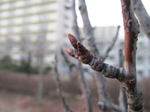 桜の芽吹き