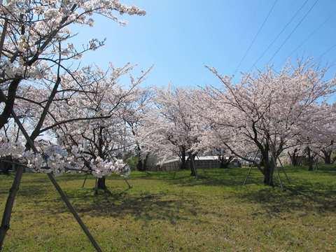 桜、満開になりました(^o^)