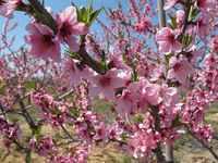 桃の花と梨の花