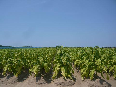 葉たばこ畑