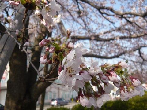 ソメイヨシノの開花宣言-新潟地方気象台