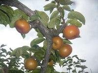 新潟の梨 [収穫真っ盛り]