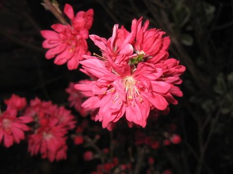 「キクモモ」の花