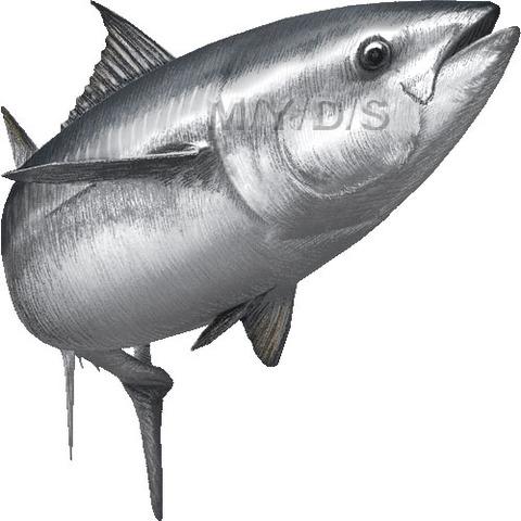 佐渡の「まぐろ漁」