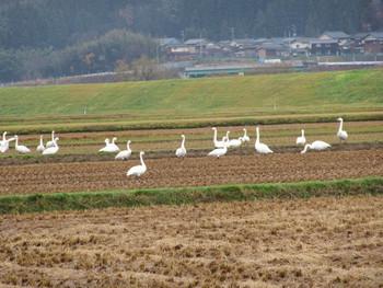 白鳥飛来2