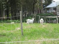 草刈ヤギと繁殖ヤギ