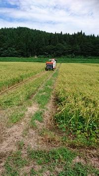稲刈開始、キウイの実