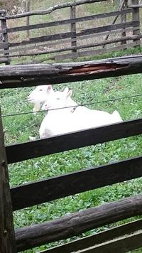 草刈ヤギの台風避難と子やぎの移動