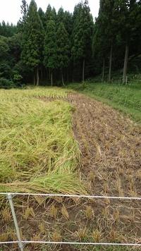 最後の稲刈り始まる。