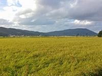 金色の越後平野