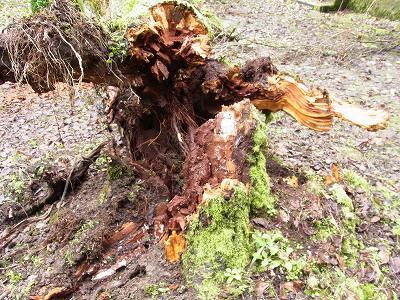 神社の桜の古木倒れる