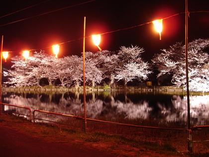 桜のライトアップ!