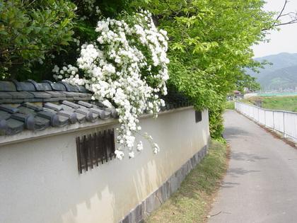 小手鞠(コデマリ)
