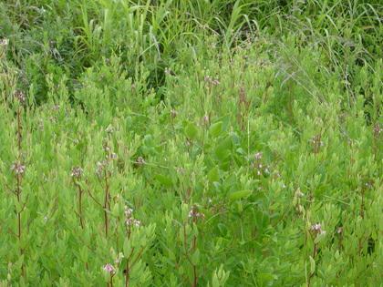夏の山野草