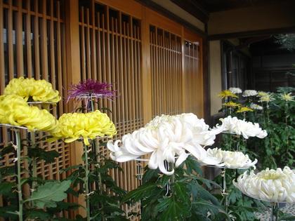 玄関前の菊