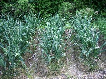 畑の作物(無臭にんにく&あさずき)