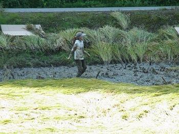 大変な稲刈り