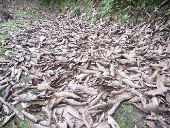 朴木の落ち葉