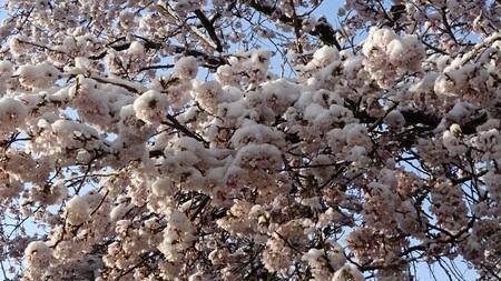 春の花に雪