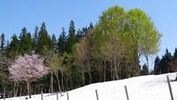 雪上桜が見頃です