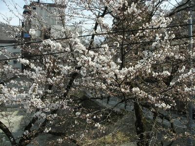 我が家の桜が咲きました