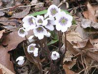 弥彦山の中腹より下で雪割草が続々と開花!