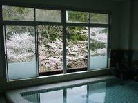 大浴場から見えるソメイヨシノが開花!