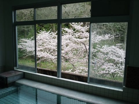 大浴場から見える染井吉野が見ごろに!