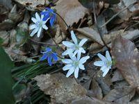 雪割草が続々と開花!
