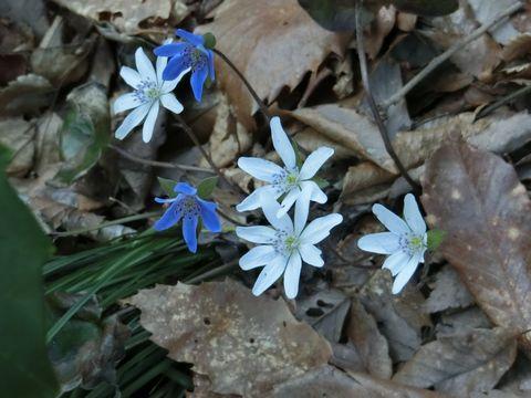 中腹より下で雪割草が続々と開花!