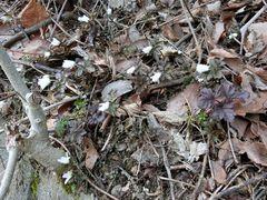 中腹より下では雪割草が続々と開花!