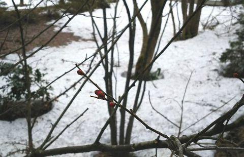 ようやく紅梅のツボミが色づき始めました