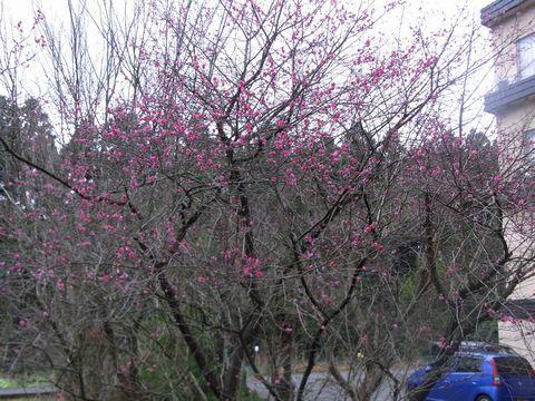 暖冬で早くも紅梅が!