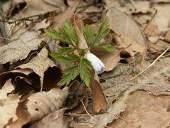 弥彦山裏参道ではキクザキイチゲも開花間近!
