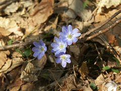 春の日差しを浴びて雪割草が続々と開花!