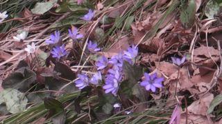 カタクリも咲き始めました