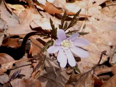 裏参道ルートで雪割草が続々と開花!
