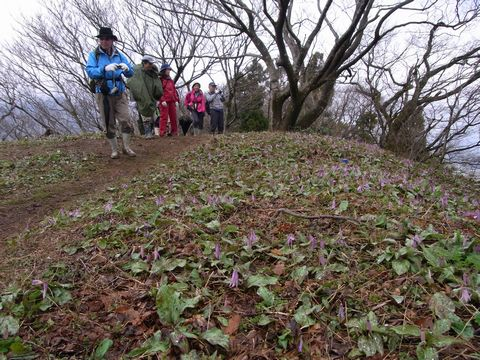 黒滝城址トレッキングツアーNo.2 剣ヶ峰でカタクリの大群生