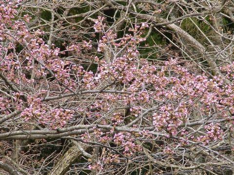 大浴場から見える桜が開花間近!