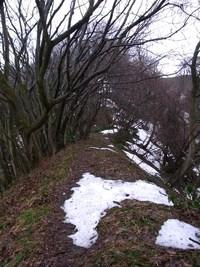 弥彦山でも今年最初の雪割草!