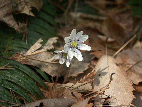 湯神社周辺ではオウレンやコシノカンアオイが咲き始め