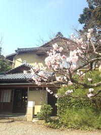 梅の花が咲きました。