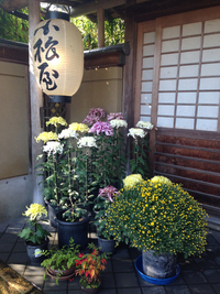 菊まつりの季節。