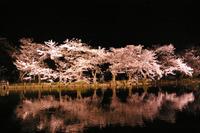 夜桜満開。