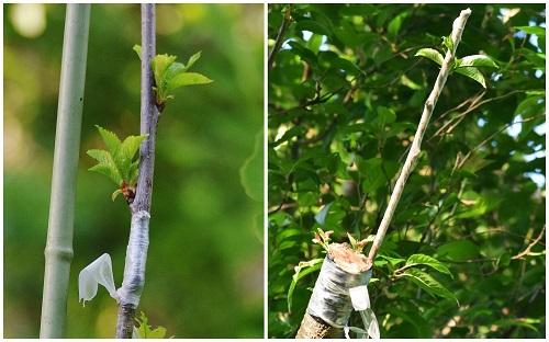 桜の木に桜桃を接ぐ