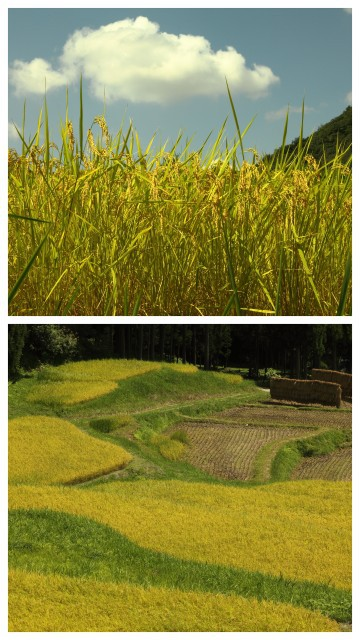 棚田の実り crop of rice terraces