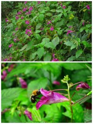 ツリフネソウの花盛り